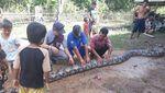 Foto: Anak-anak Dibiarkan Dekati Piton Raksasa di Sumsel
