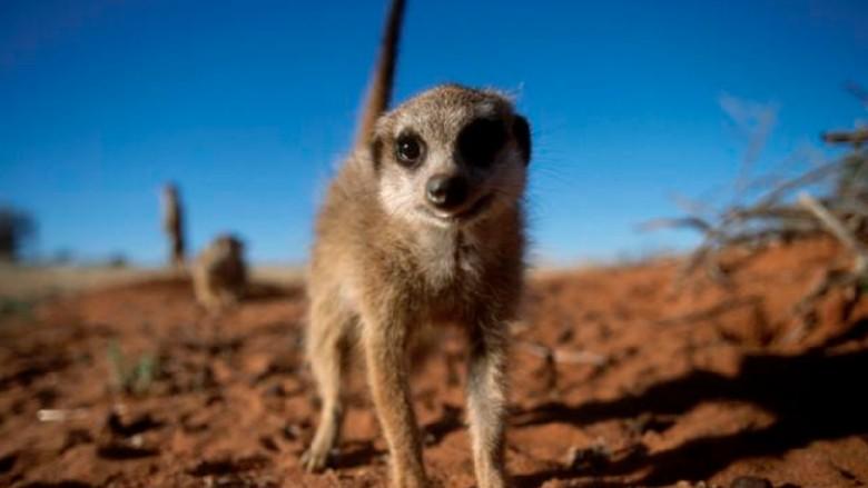 Bunuh Meerkat Hamil di Kebun Binatang, Bocah 12 Tahun Dibully