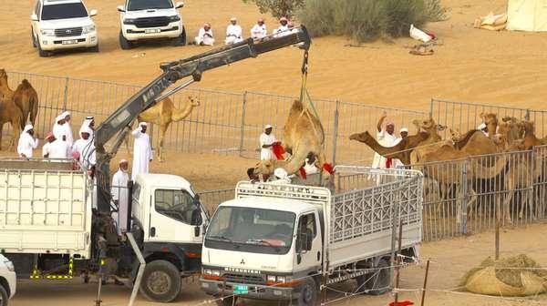 Uniknya Balap Unta di Dubai