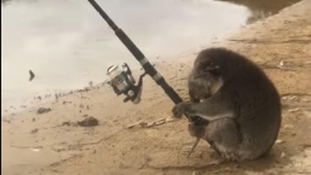 Lucunya! Seekor Koala Kedapatan Asyik Memancing di Tepi Sungai