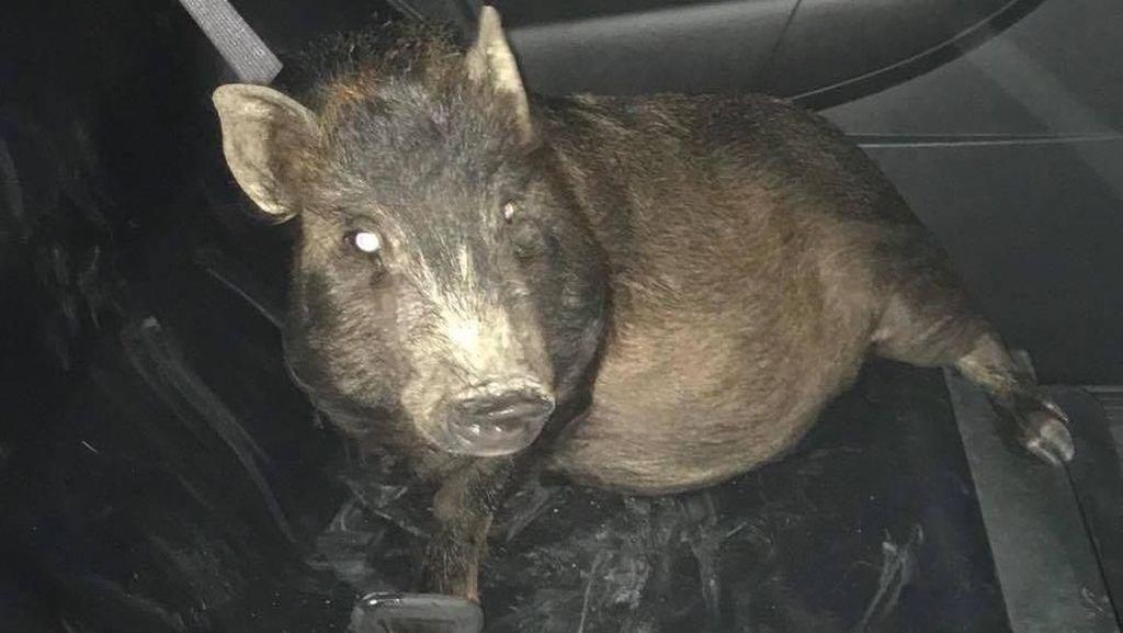 Diikuti Babi Secara Misterius, Pria AS Lapor Polisi