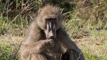 Lepas dari Kandang, Seekor Baboon Bikin Heboh Bandara AS