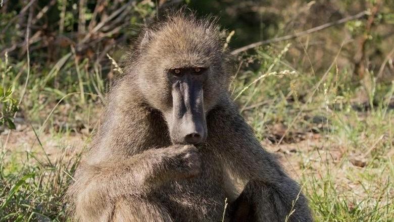 Foto: ilustrasi baboon (Thinkstock)