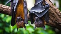 Gejala Virus Nipah yang Diwaspadai Jadi Pandemi Baru di Asia