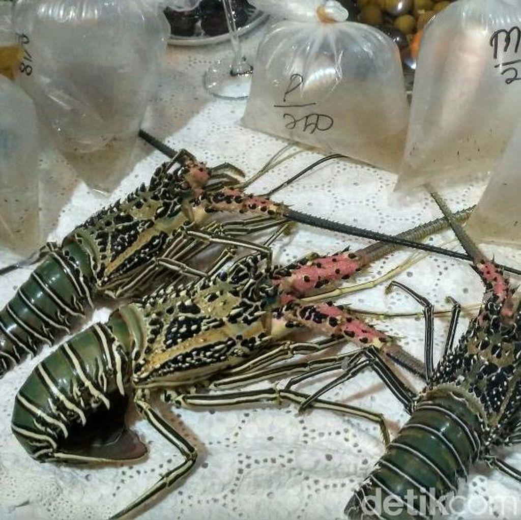 Banyak Benih Lobster Diselundupkan, Susi: Belinya Rp 3.000 per Ekor