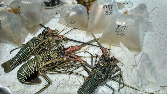 Susi pamer benih Lobster selundupan