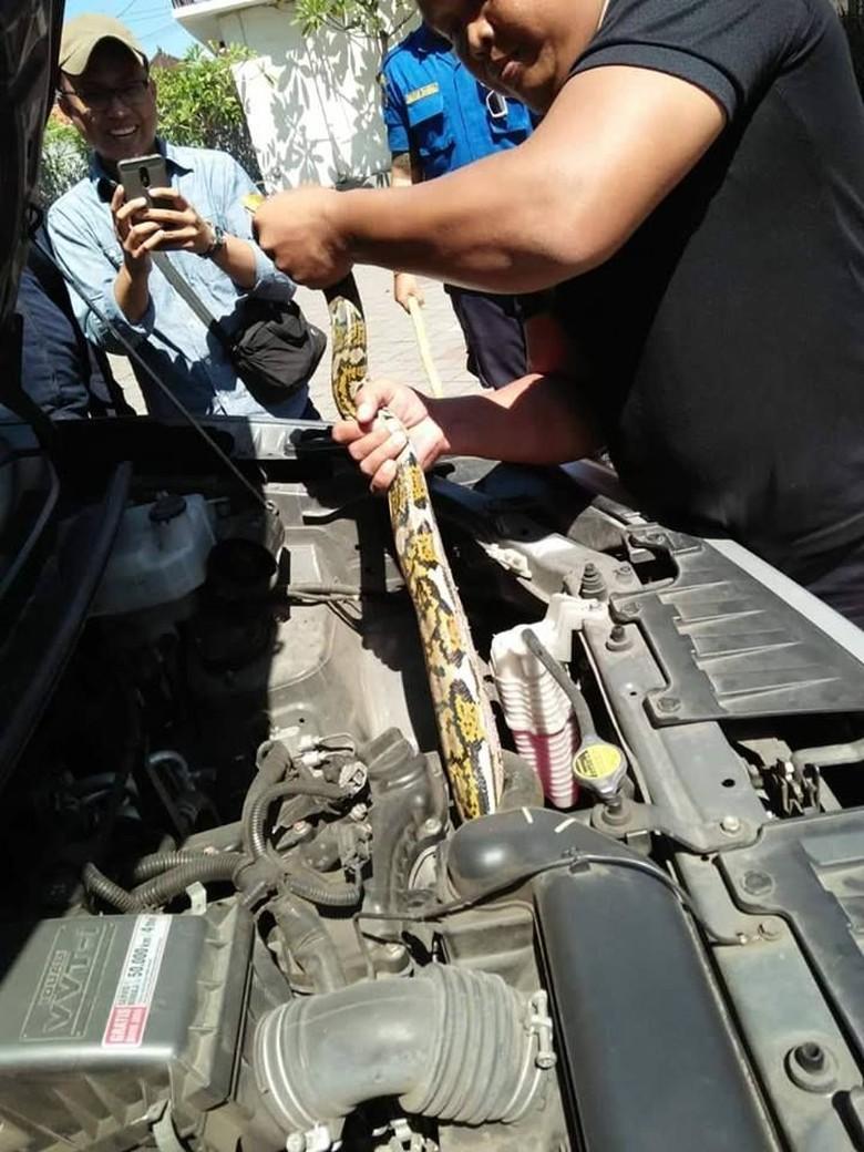 Ngeri! Sanca 2,5 Meter Ditemukan Dalam Mesin Mobil di Denpasar