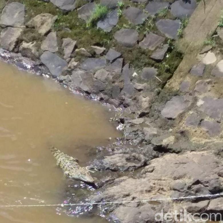 Cerita Warga Baleendah Lihat Buaya Berjemur di Sungai Cisangkuy