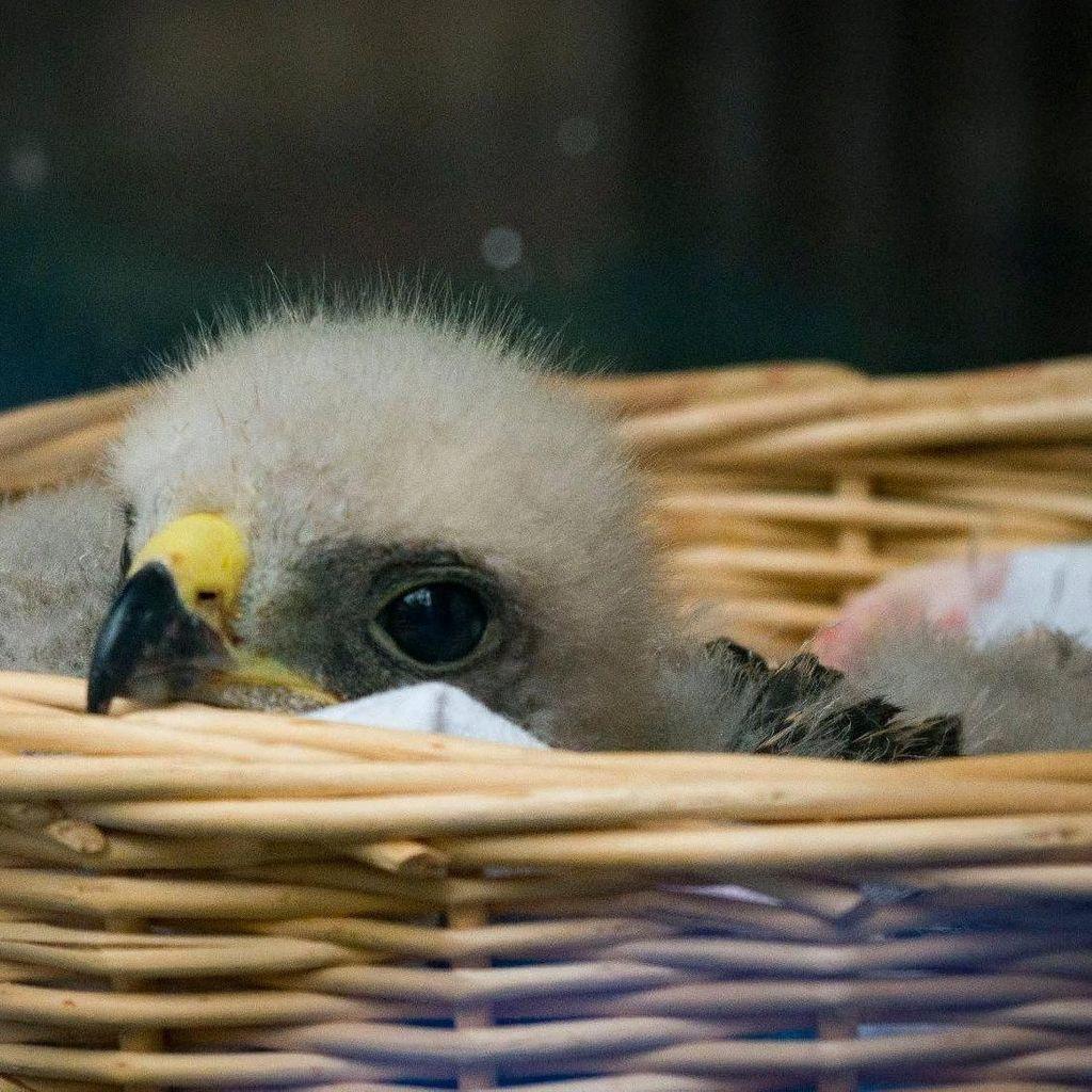 Bikin Gemas! Bayi Elang Pundak Merah Dipajang di Jendela Klinik