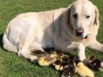 Foto: Bikin Gemas! Anjing Ini Jadi Ayah Angkat 9 Anak Bebek