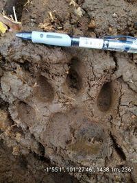 Jejak kaki harimau yang serang warga di Jambi