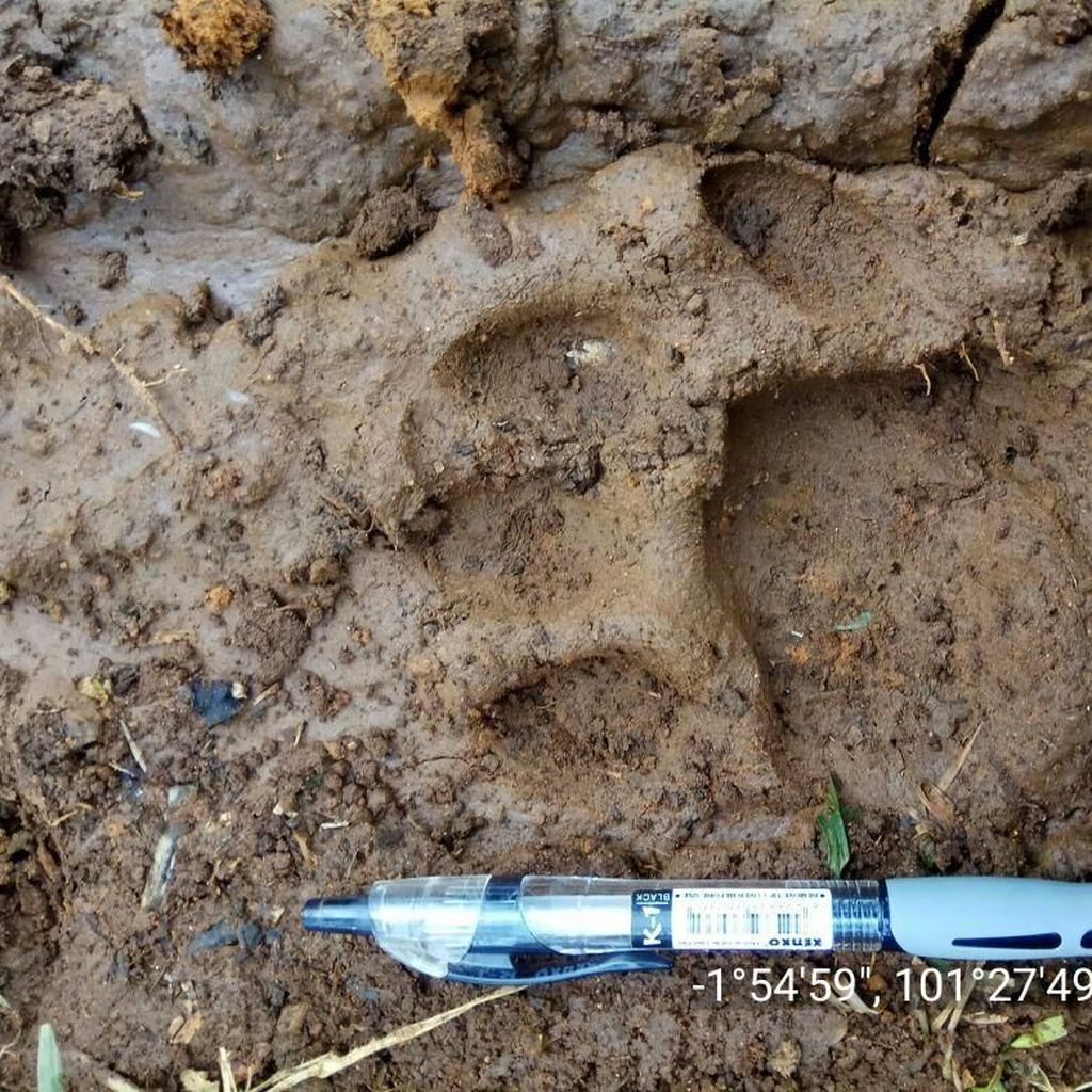 Penampakan Jejak Harimau yang Serang Warga Jambi