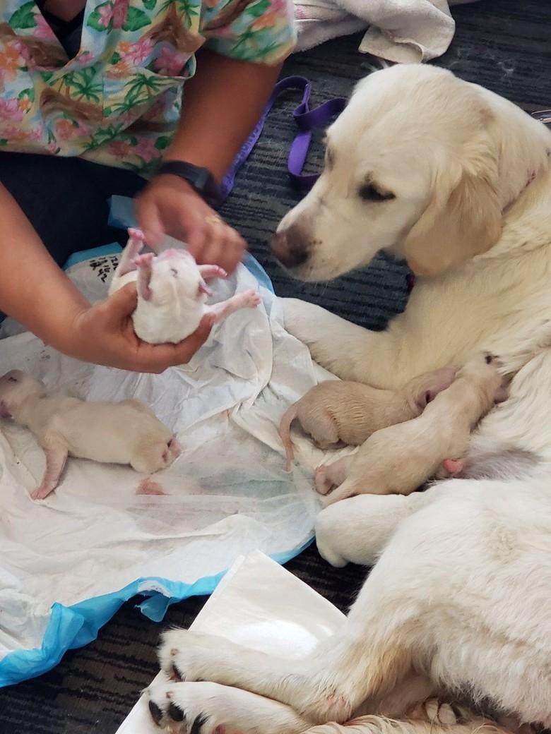 Foto: Saat Anjing Pemandu Melahirkan di Bandara Florida