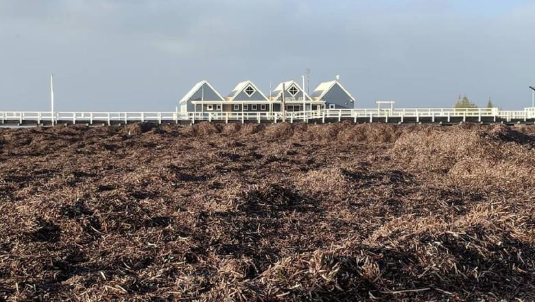 Dermaga Busselton Tertutup Sampah Rumput Laut