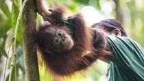 Ketika Orangutan Pun Naik Bus ke Sekolah