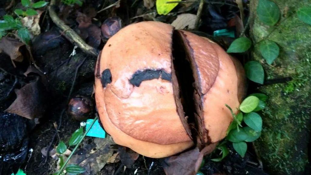 Terlalu! Rafflesia Arnoldi di Bengkulu Utara Diduga Dirusak