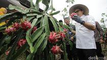 Ramadan, Pedagang Buah Naga Organik Banyuwangi Dapat Berkah