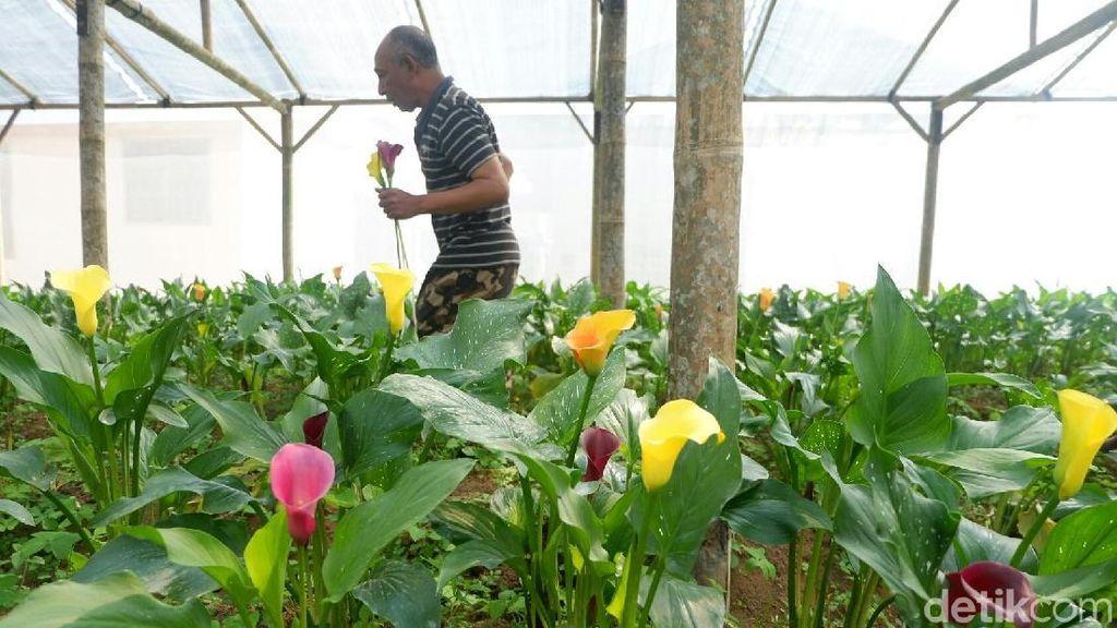 Foto: Indahnya Warna-warni Bunga Lily dari Dieng