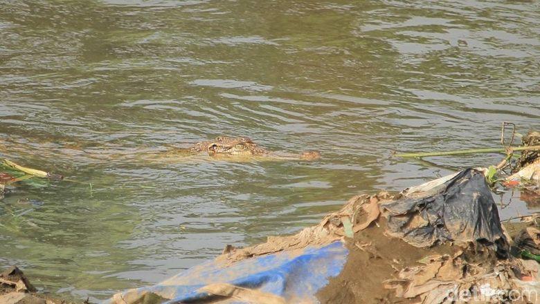 Buaya di Tanjung Priok Sempat Muncul, Ditembak Lalu Menghilang