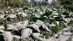 Foto: Lahan Pertanian di Boyolali Memutih Diselimuti Abu Merapi