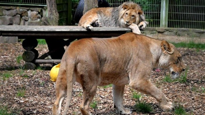 Singa, harimau dan jaguar lepas dari kandang di kebun binatang Jerman, polisi kerahkan drone