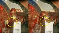 Waduh! Crayfish Ini Merayap Keluar dari Hotpot Saat Sedang Dimasak