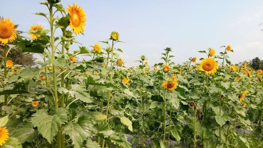Mudik ke Magelang, Bisa Main ke Taman Bunga Matahari