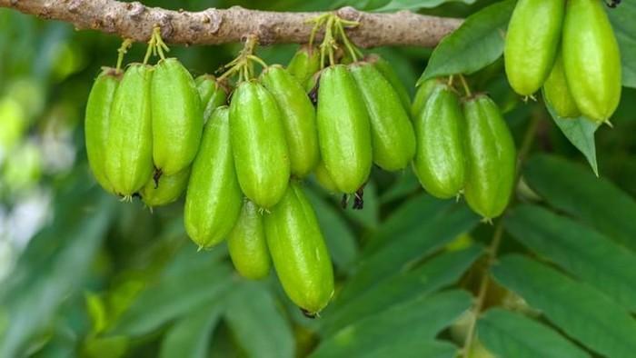 Averrhoa bilimbi a.k.a. Kamias/Cucumber tree/Bilimbi; edible and medicinal fruit of South East Asia