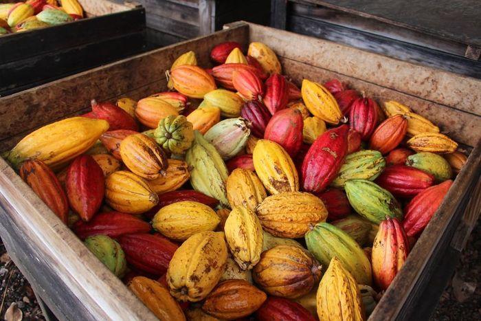 Warna dan ukuran buah kakao tergantung dari jenis dan varietasnya. Istimewa/damsonchocolate.com.