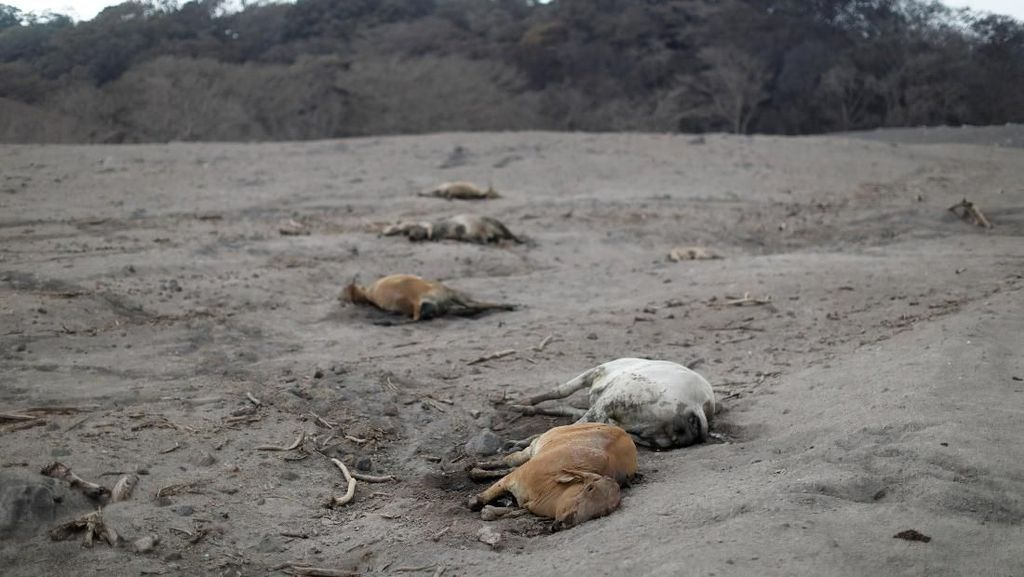 Deretan Hewan yang Mati Akibat Letusan Gunung Fuego