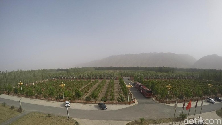 Perkebunan anggur di tengah Gurun Gobi yang gersang (Fitraya/detikTravel)