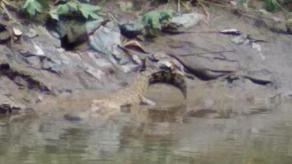 3 Ekor Buaya Muncul di Sungai Deli Gegerkan Warga