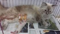 Sulit Melahirkan, 2 Kucing di Makassar Jalani Operasi Caesar