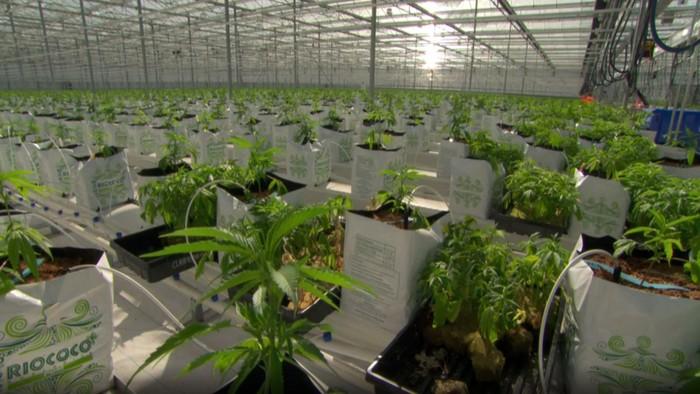 Canopy Growth terletak di British Columbia, Kanada. (Foto: BBC)