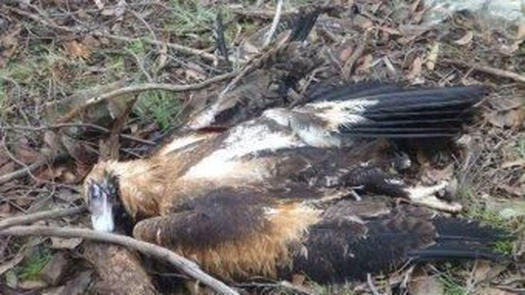 Ratusan Elang Mati Diracun di Victoria
