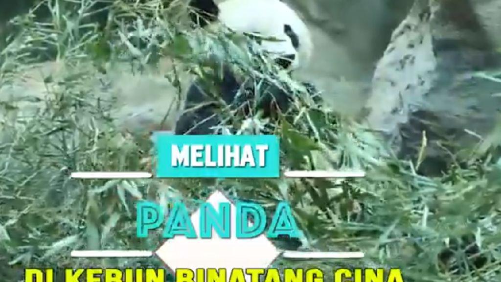Melihat Panda di Kebun Binatang Cina