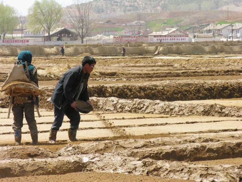 Penampakan petani di Korut yang kabarnya sering dilanda kelaparan. Foto: Getty Images