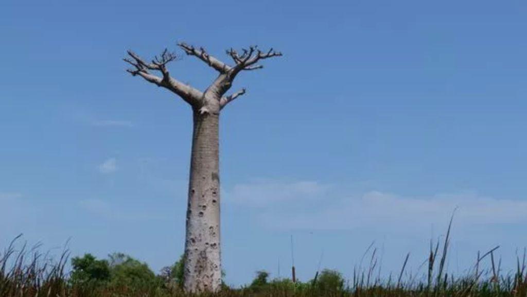 Baobab Berusia 2.500 Tahun di Afrika Tiba-tiba Mati Satu Persatu
