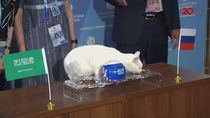 Kucing Achilles Ramal Rusia Kalahkan Arab Saudi