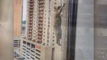 Viral Rakun Daredevil Panjat Gedung Pencakar Langit di AS