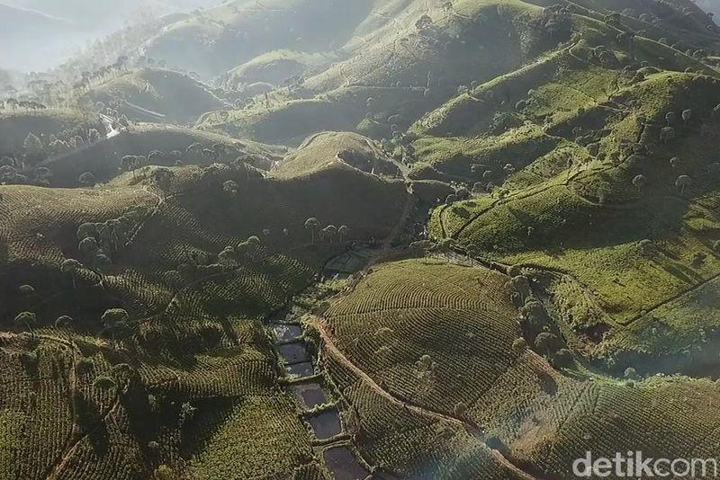 Hamparan perkebunan teh yang hijau menyejukan sejauh mata memandang, hamparan kebun teh terlihat jelas di kaki Gunung Wayang. (Wisma Putra/detikTravel)