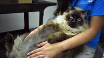 Foto: Viral Kucing 13 Kg yang Tak Muat di Kandang