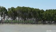Foto: Tahu Nggak, Brebes Punya Wisata Hutan Mangrove
