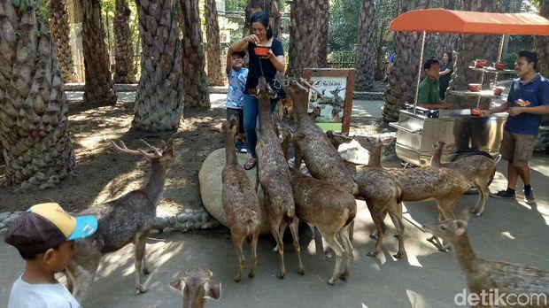 Pengunjung yang asyik memberi makan rusa (Nandhang/detikTravel)