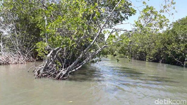 Pohon mangrove  (Imam/detikTravel)