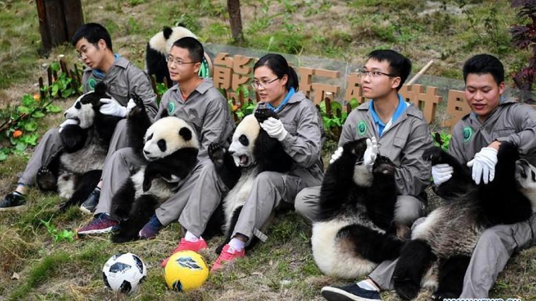 Foto: Gemasnya Panda yang Kena Demam Piala Dunia 2018