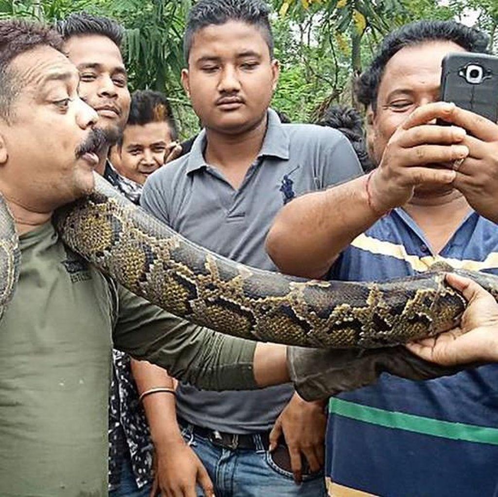 Selfie dengan Piton Raksasa, Seorang Jagawana Nyaris Dililit