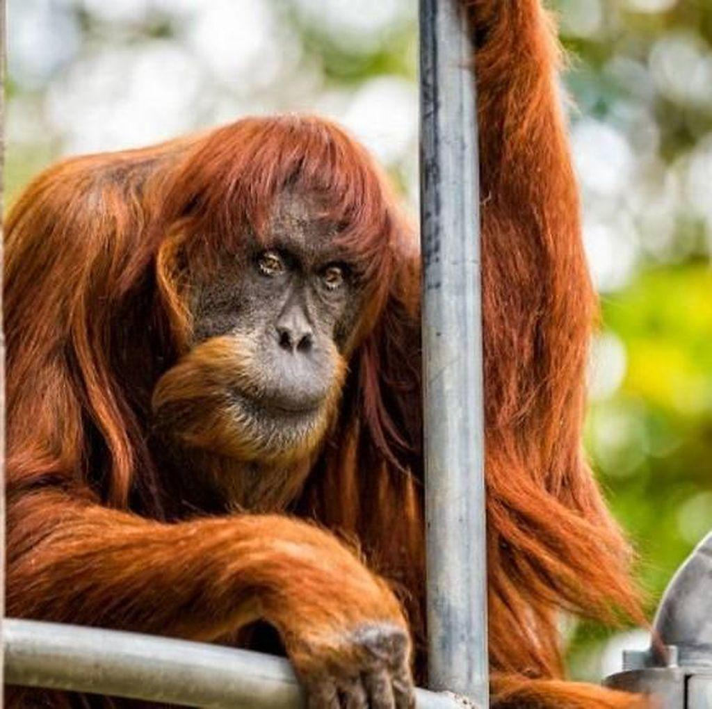 Orangutan Tertua di Dunia Mati di Usia 62 Tahun