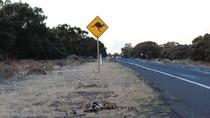 Musim Kemarau, Jutaan Kanguru Turun ke Jalan