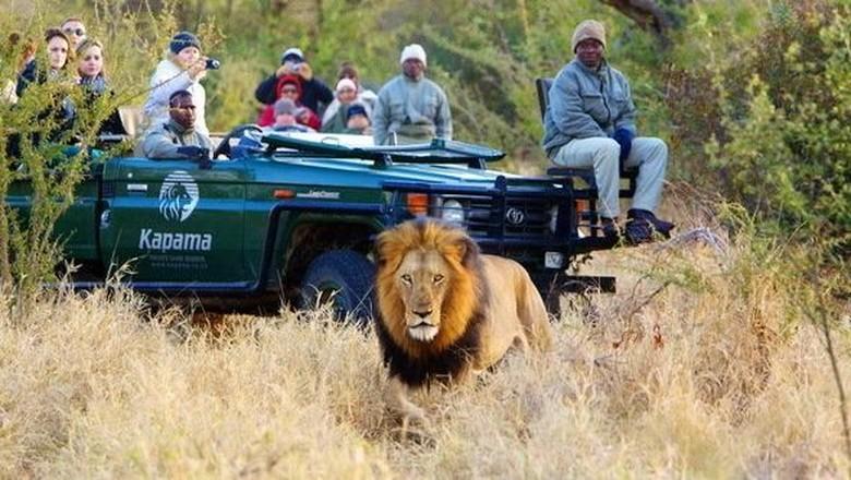 Singa di Kapama (Kruger National Park)